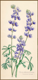 Blue and White Lupine