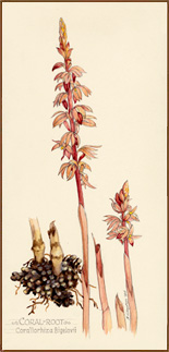 Coral Root