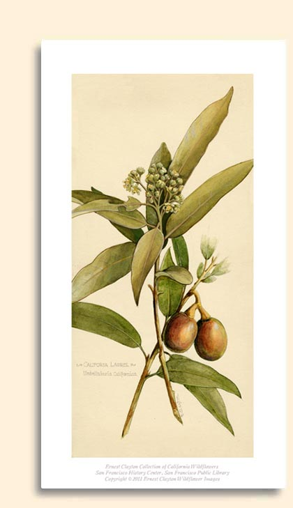 california bay laurel tree
