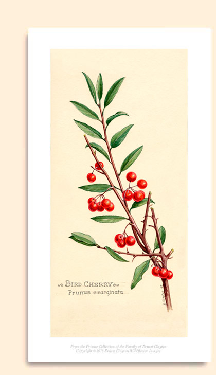 bitter cherry or bird cherry