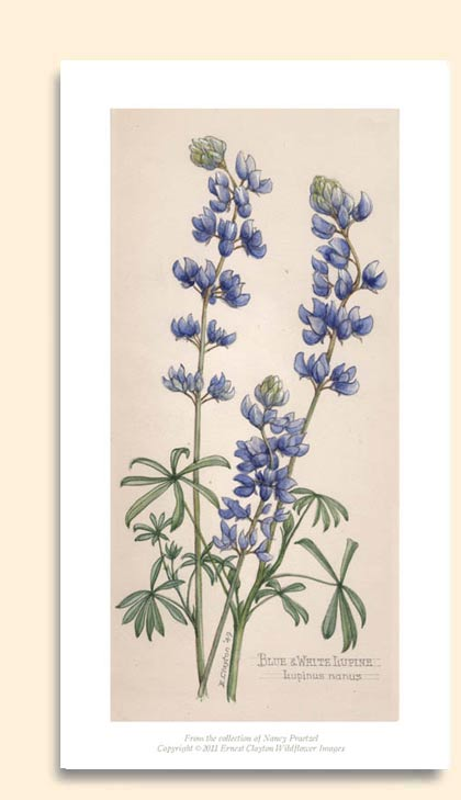 blue and white lupine image