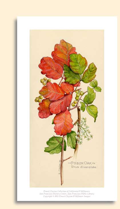poison oak image